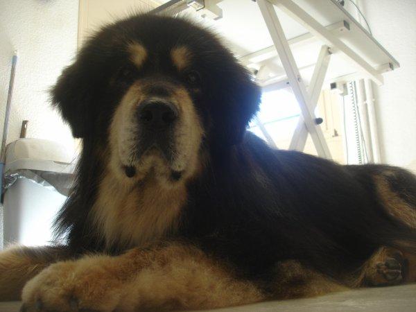 TSAMPA la Dogue du Tibet