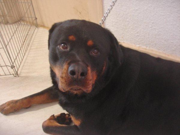 MEMATI le gros pépère Rottweiler