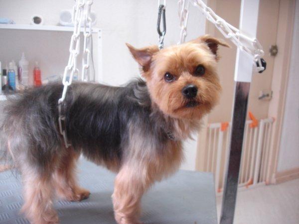 Echo le yorkshire terrier en coupe ciseaux salon de toilettage canimod - Coupe de poils pour yorkshire ...