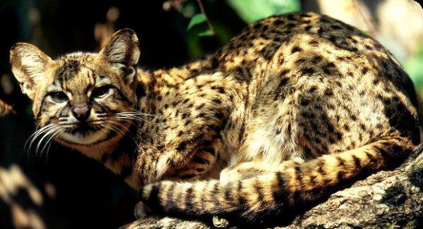 Leopardus I