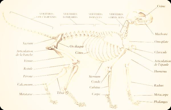 Anatomie féline
