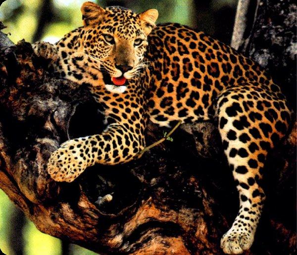 Panthera I