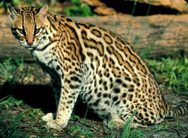 Leopardus II