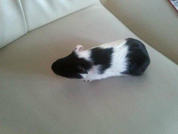 je vous prensente tommy le ptit cochon dinde de ma fille Léa