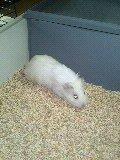 je vous présente  mya le cochon dinde  de mon fils   mathéo