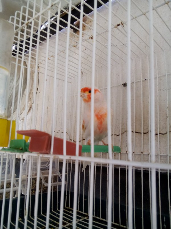 canari  mâle mosaïques