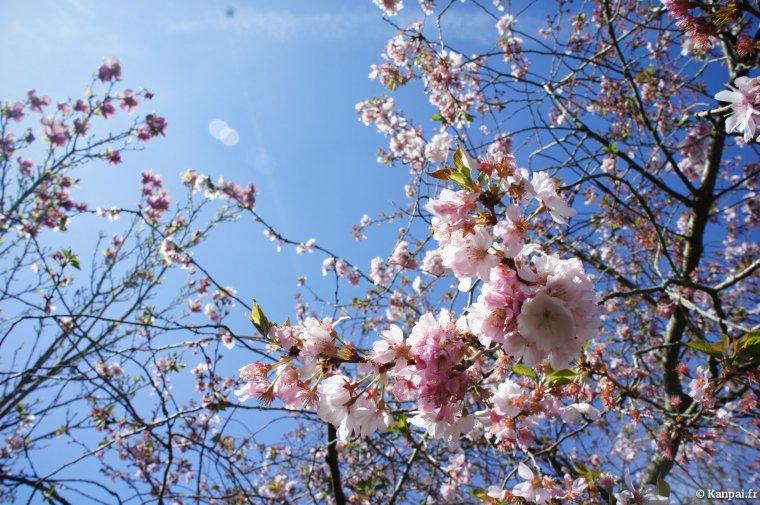 Sakura ~ Cerisier japonais