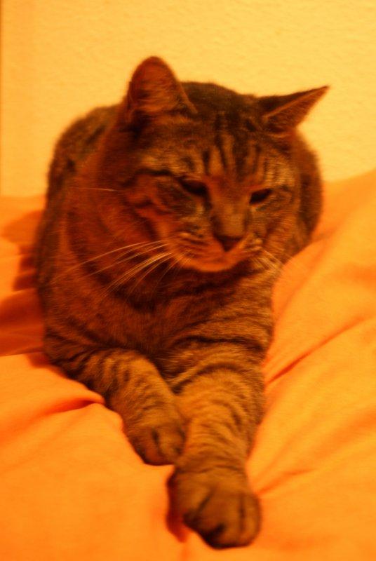 Chat de gouttière **mon chat  NEKO en mode hiver je glande au lit**