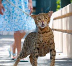 L'Ashera : le chat le plus cher sur le marchédisponible sur le marché aux alentours de. 13 700 ¤.