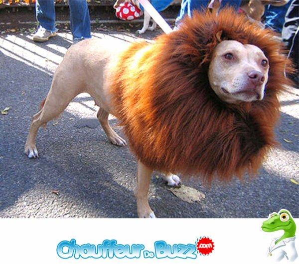 15 août 2013 - Un zoo déguise un chien en lion