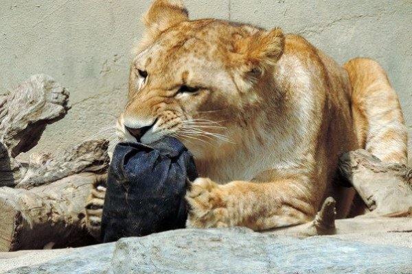 Des jeans griffés par des animaux
