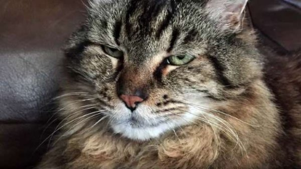 26 ans et 13 jours: voici Corduroy, le plus vieux chat du monde