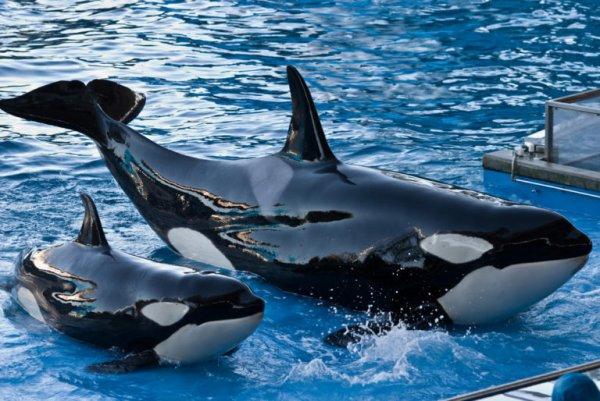 Le drame continue : à seulement 3 mois, la dernière orque née en captivité à SeaWorld est morte