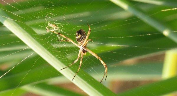 Les scientifiques ont découvert une araignée préhistorique dotée d'une queue