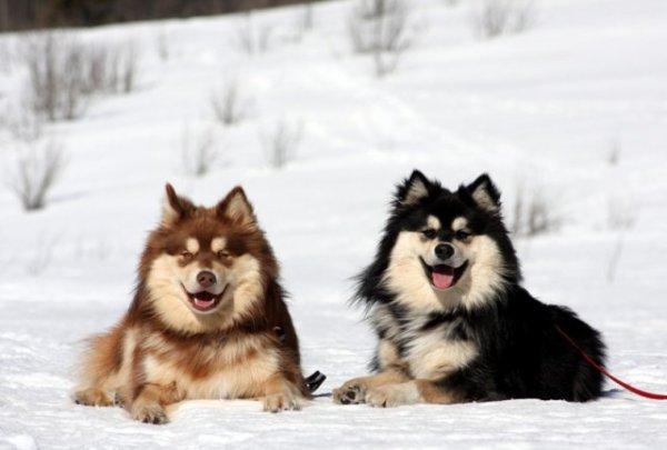 Fiche Chien : Le berger finnois de Laponie !! <3