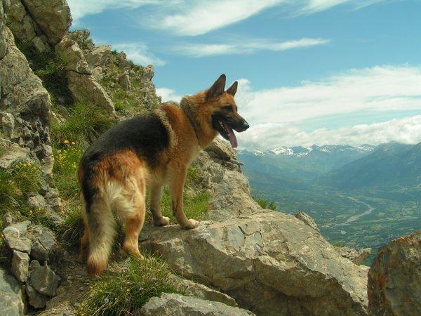 Fiche Chien : Le berger allemand !! <3