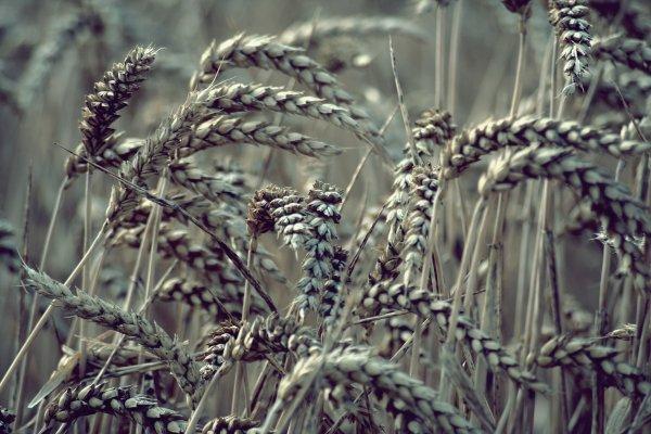Champs de blé..