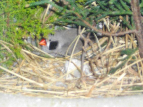 ma femelle mandarin à pondu dans le sapin en volière extérieur voir la suite c'est pour bientot