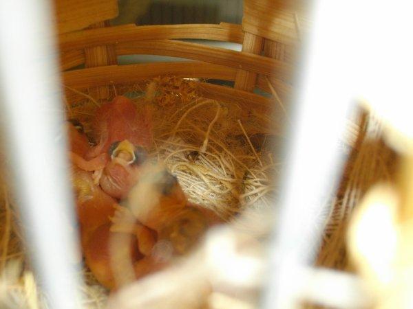 encore  des bébés moineau du japon nés dimanche 3 juin 2012