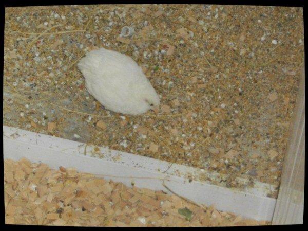 nouvelle arrivante femelle caille de chine blanche