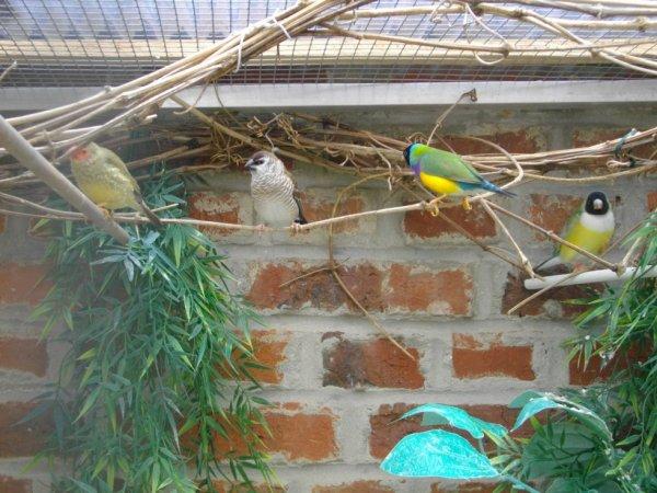 autres oiseaux de ma volière extérieur