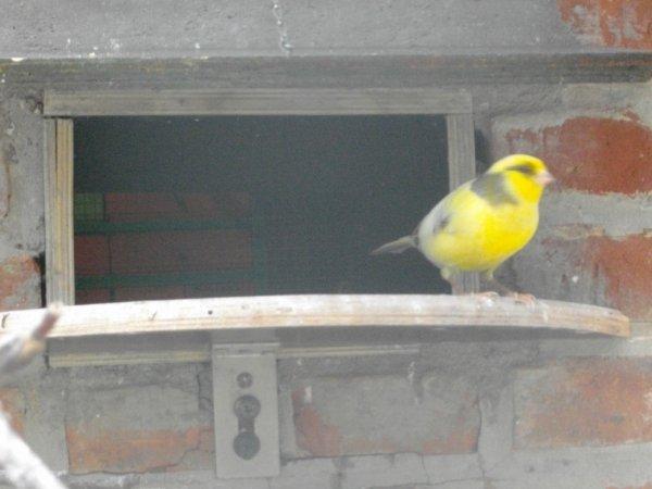 mon male canari né l'année dernière