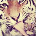 Pack 10 : tigre