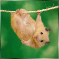 Pack 17 : hamster