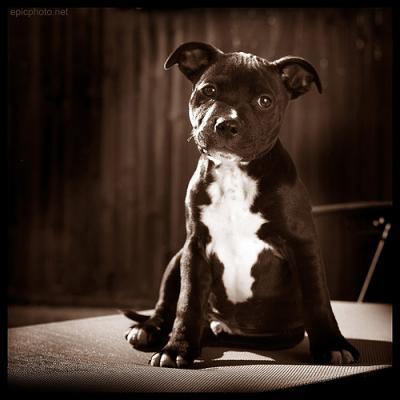 Propri taires soyez vigilants la nouvelle loi sur les chiens dangereux est - Loi pour les proprietaires ...