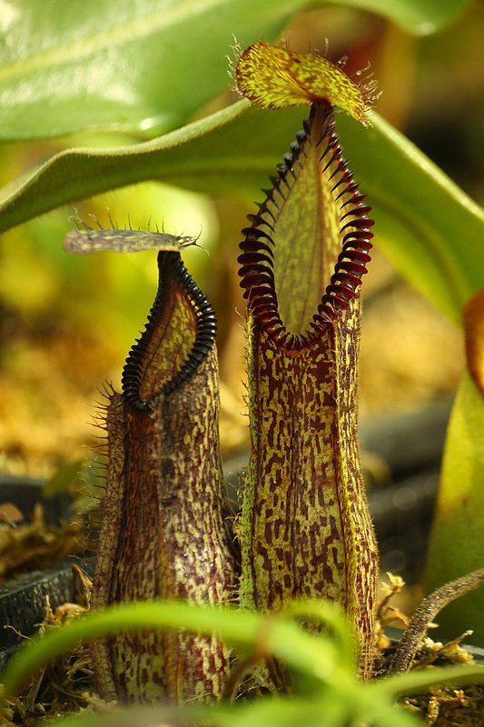 Nepenthes hamata