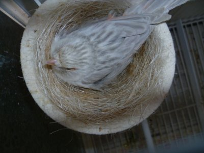 hembra reproductora