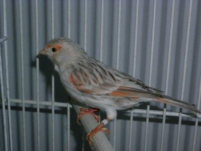 hembra reproductora agata pastel rojo mosaico