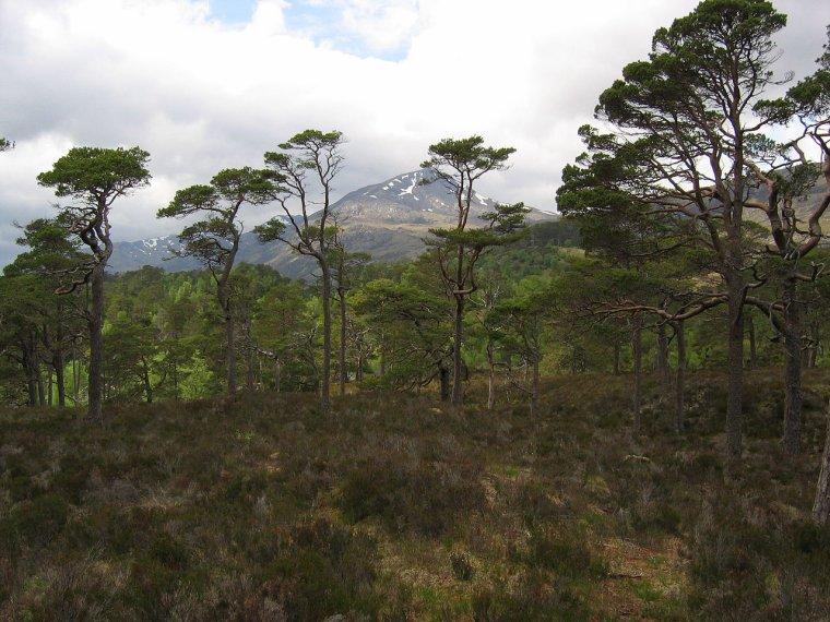Forêts de conifères calédoniennes