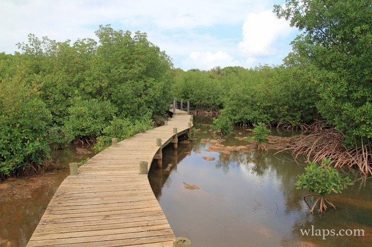 Mangrove à la Guadeloupe