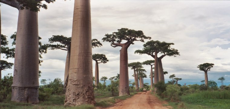 Madagascar  _  Allée des baobabs