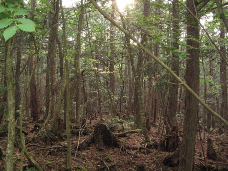 Forêt du Japon _ Aokigahara