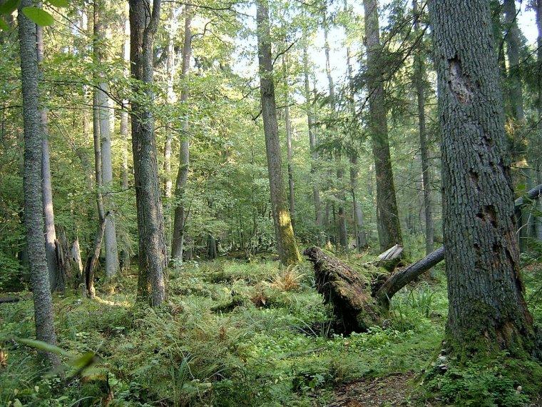 Pologne/Bielorussie  -  Forêt de Białowieża