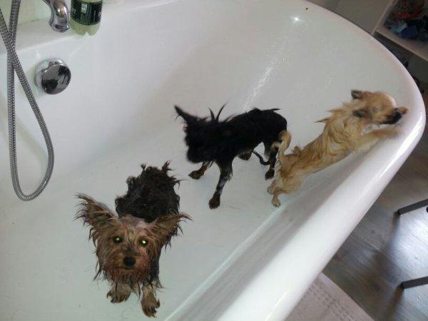 Benjie(york), Guizmo(chichi) et Happy (chichi) au bain