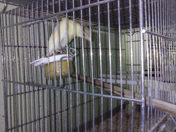 Femelle panachée cinamon