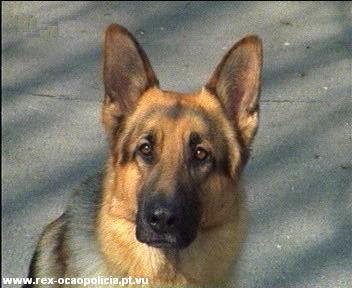 Rex... Le berger Allemand policier