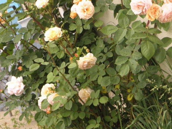 rose sur un crochet du mur