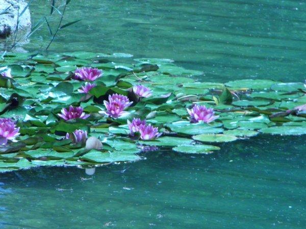 fleurs dans l'eau