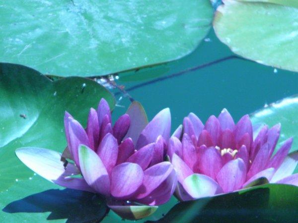 fleurs dans l'eau plus prés