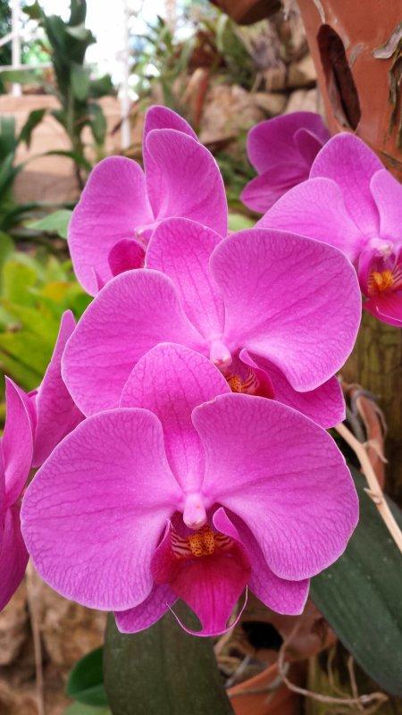 Parc Phoenix  festival d orchidėe