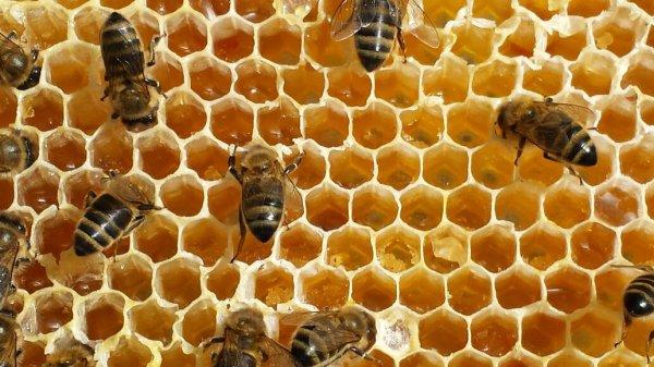 les abeilles en pleine boulimie de miels