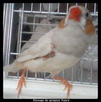 Presentaton de mes Male Diamant mandarin et femelle Diamant Mandarin