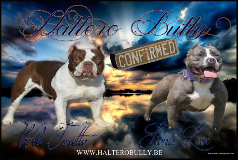 Femelle American Bully bleu à vendre
