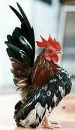 Les Races Naines * Le Serama, la plus petite des poules