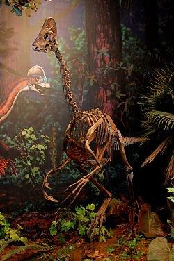 Le dinosaure-poulet de l'enfer, ANZU WYLIEI