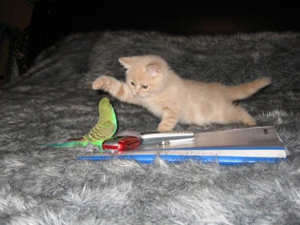 Le chaton et la perruche